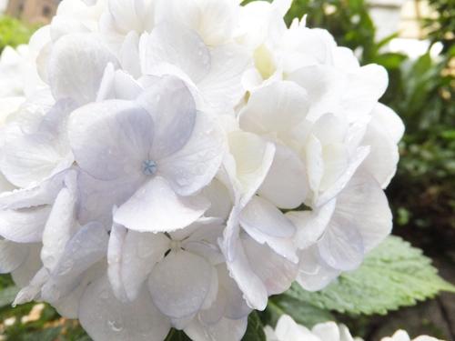 201506紫陽花2