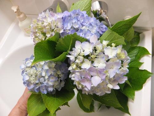 20150619紫陽花