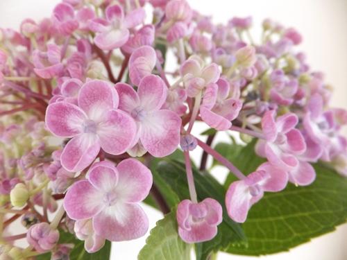 20150613紫陽花