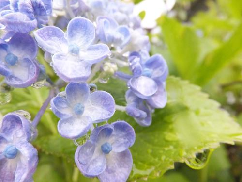 201506紫陽花6