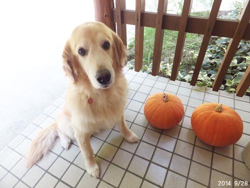 201409ハロウィンかぼちゃ